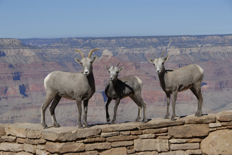 Desert Big Horns At The Grand Canyon