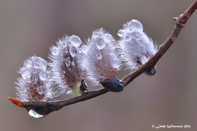 Dew On The Pussy Willows