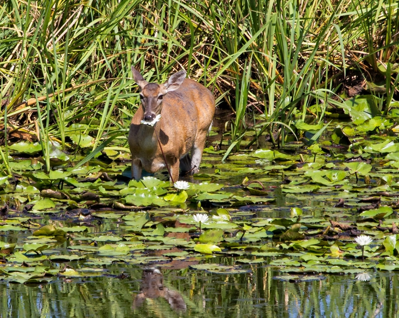 Doe Eating Water Lily
