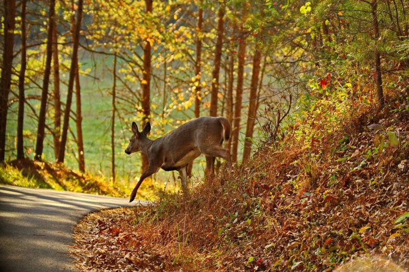 Doe In The Smokies