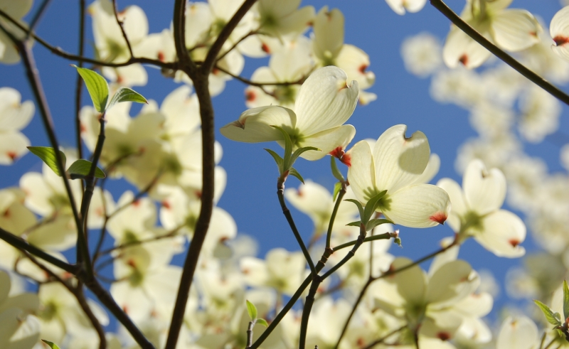 Dogwoods From Down