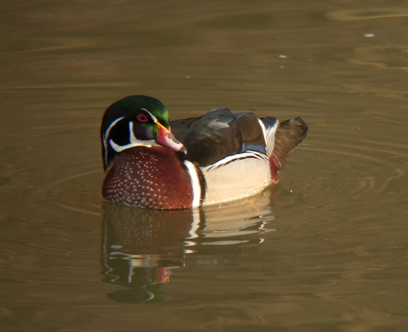 Drake Wood Duck On A Spring Morning