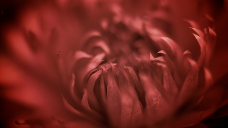 Dried Red Bloom
