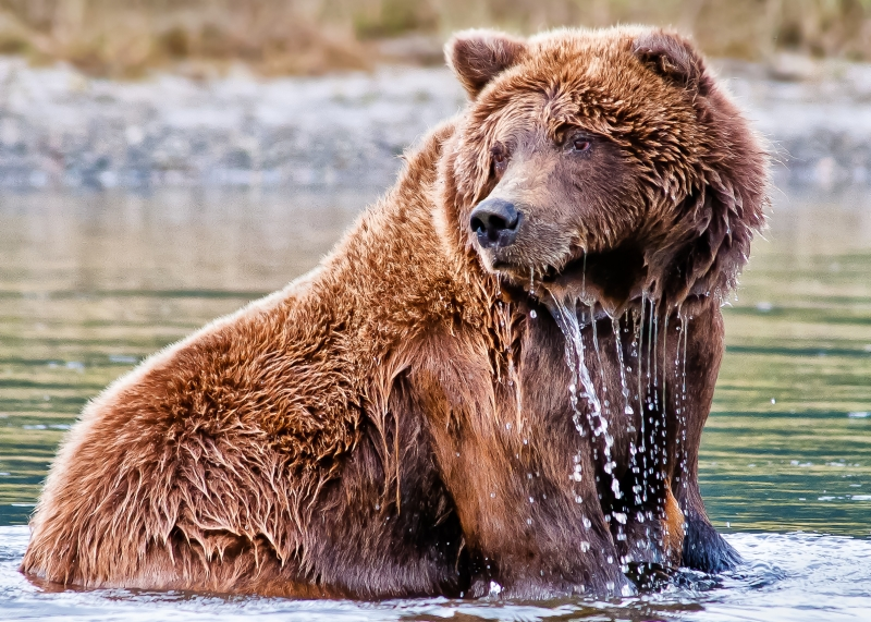 Dripping Grizzly