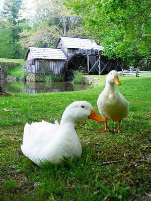 Ducks At The Mabry Mill