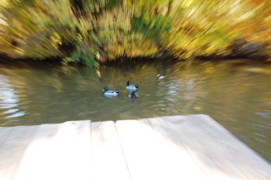Ducks On The Lake