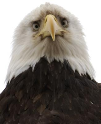 Eagles Like To Stare