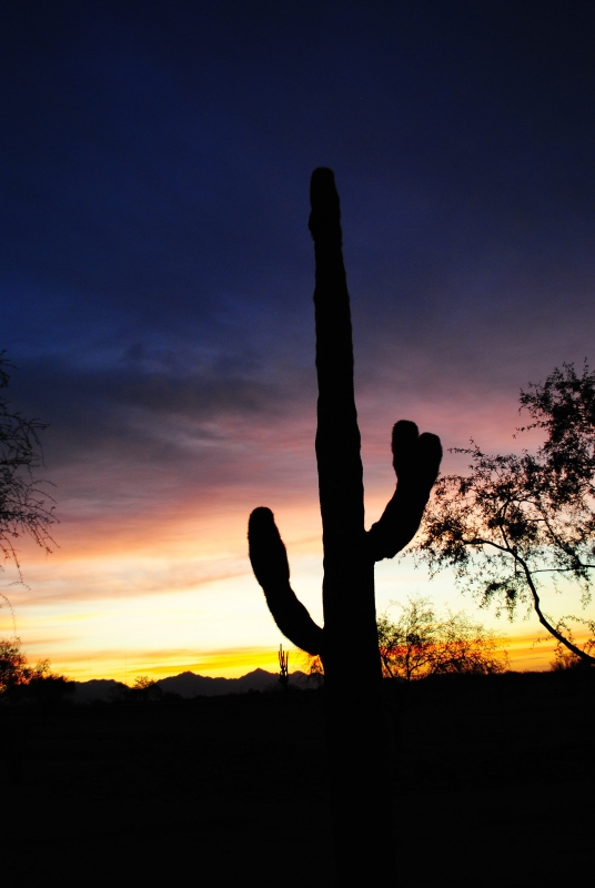 Early Morning Saguaro