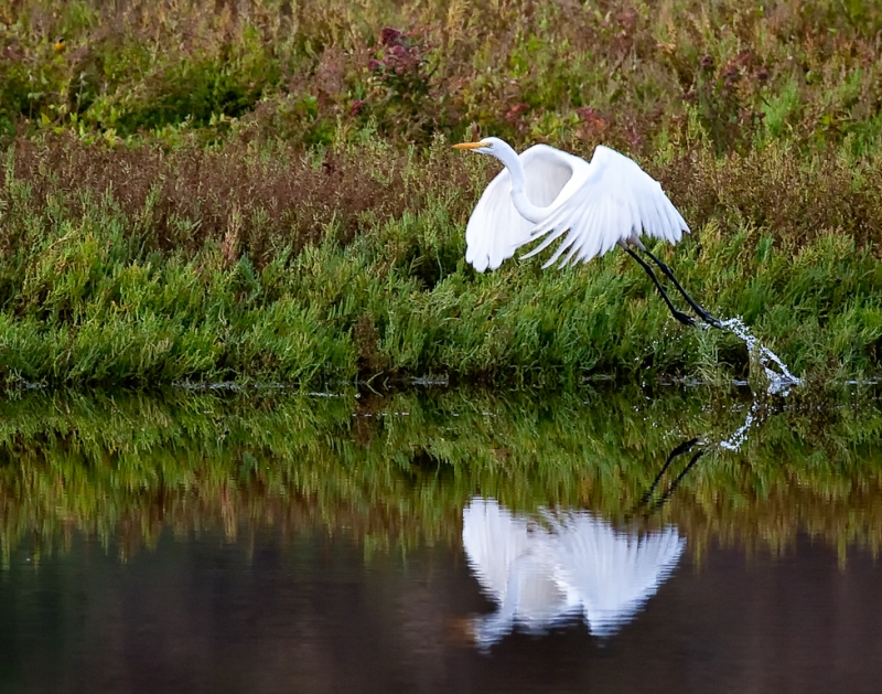 Egret Early Morning Take Off