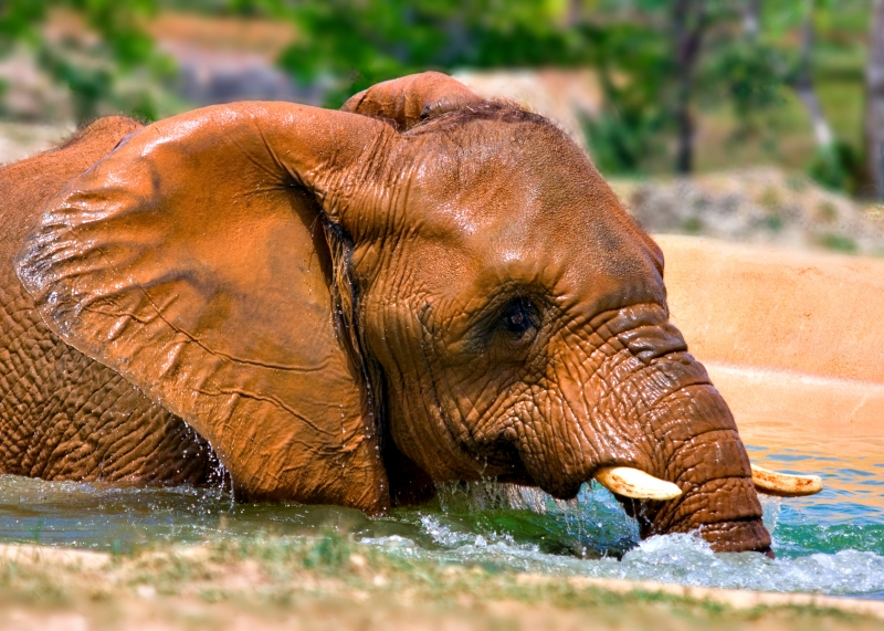 Elephant In Pond