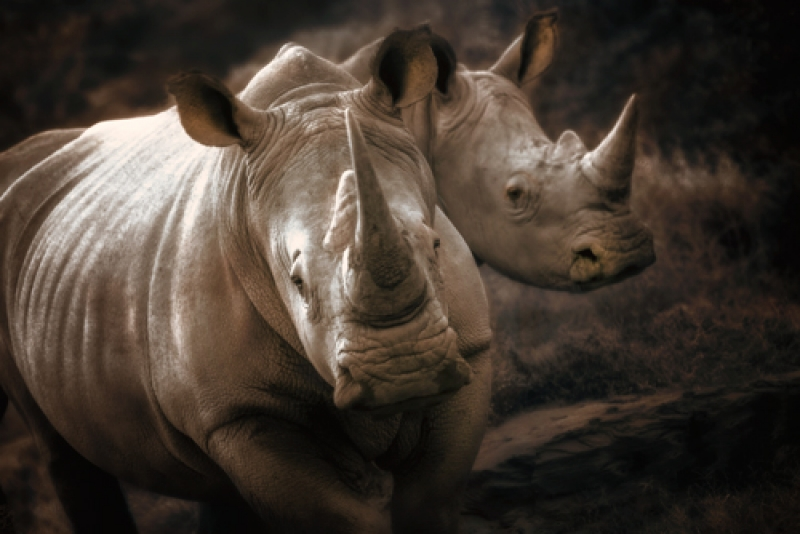 Endangered White Rhino   Mother And Calf