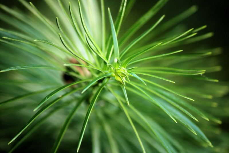 Evergreen Macro Shot