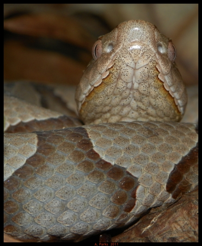 Face Of A Copperhead