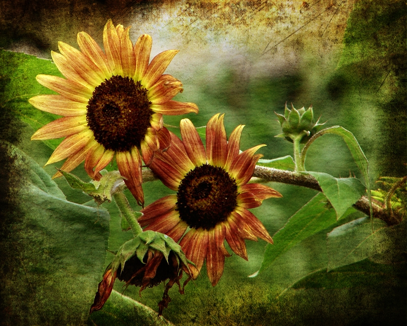 Fading Sunflowers