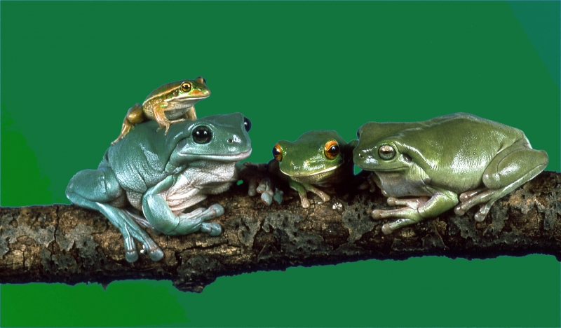 Family Of Frogs