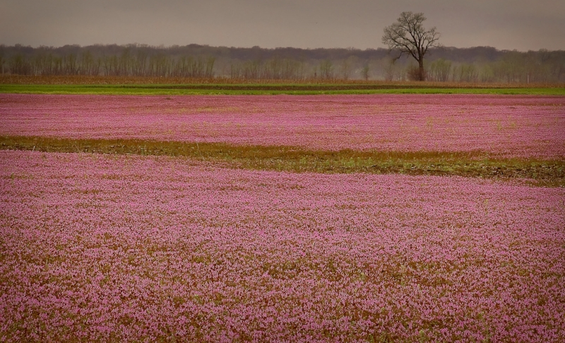 Fields In Pink At Columbia Bottoms Conservation Area