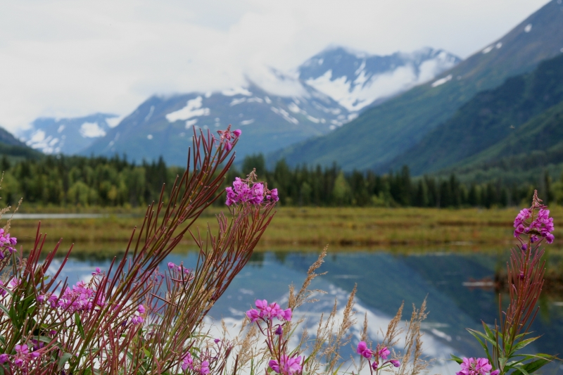 Fireweed And Mountains