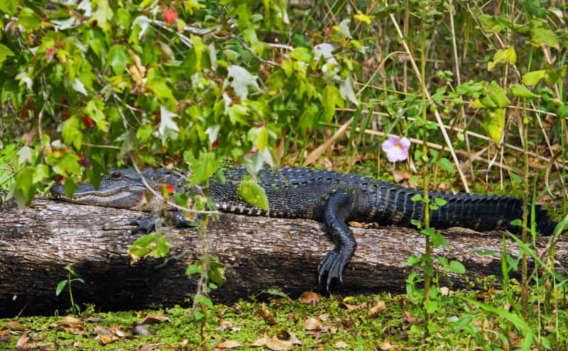 Gator On A Log