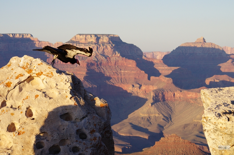 Giant Condor Leaping Into Grand Canyon