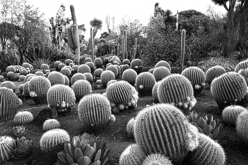 Golden Barrel Cacti Nursery