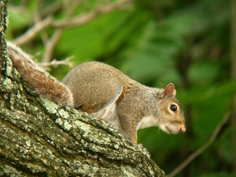 Gray Squirrel Scanning His Surroundings