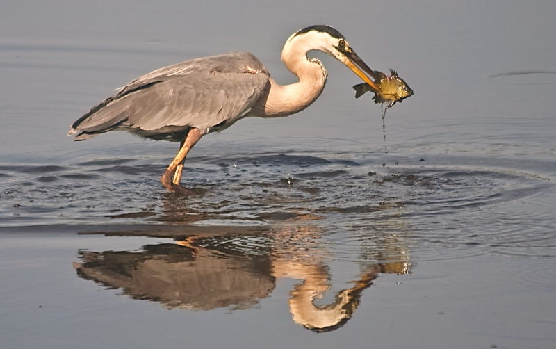 Great Blue Heron Gets A Tasty Lunch