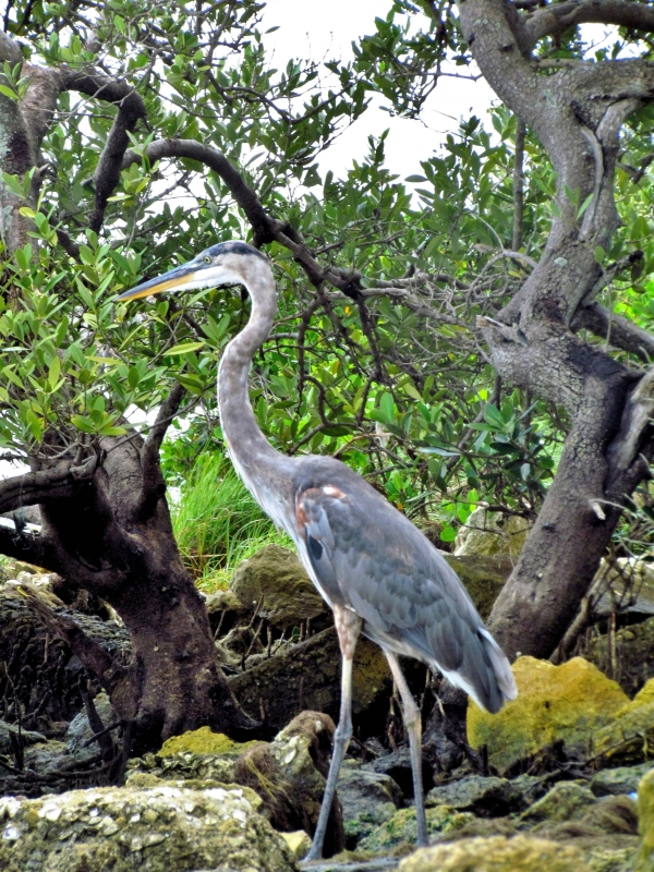 Great Blue Heron In The Mangroves