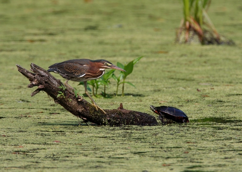 Green Heron With Friend