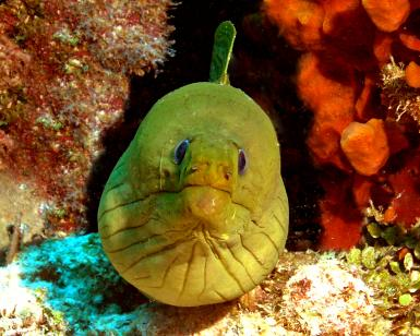 Green Morray Eel