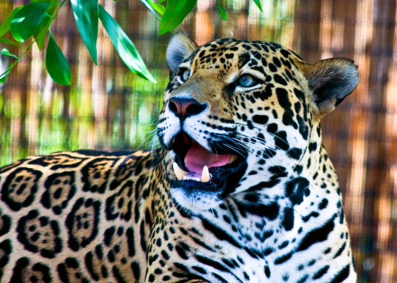 Happy Leopard