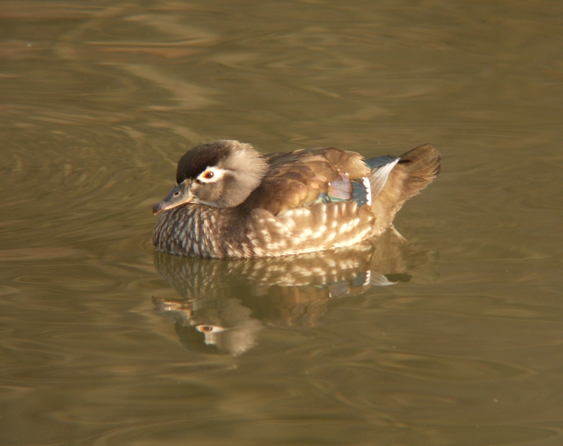 Hen Wood Duck On A Spring Morning