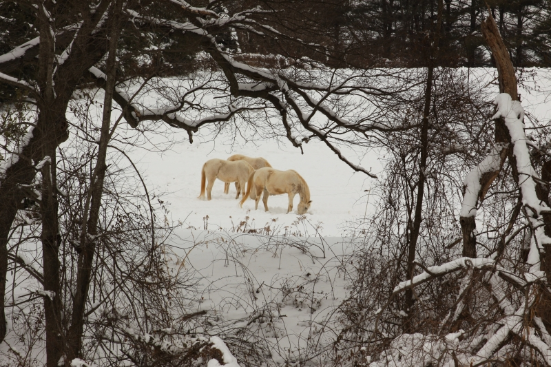 Horses Enjoying The Snow