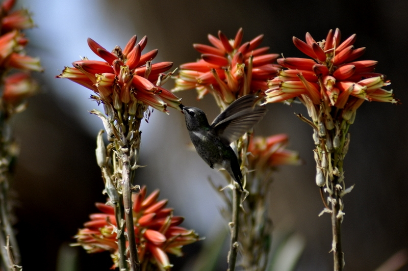 Hummingbird And Aloes
