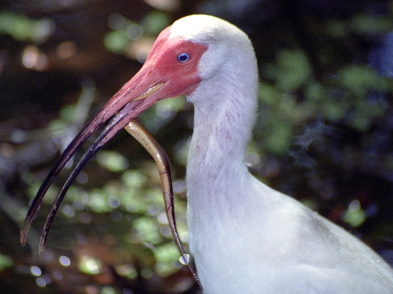 Ibis And Snake