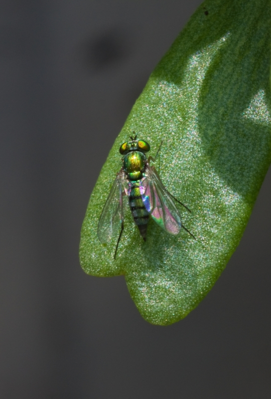 Iridescent Green Fly