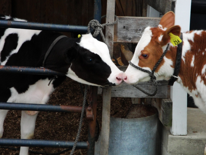 Kissing Calves