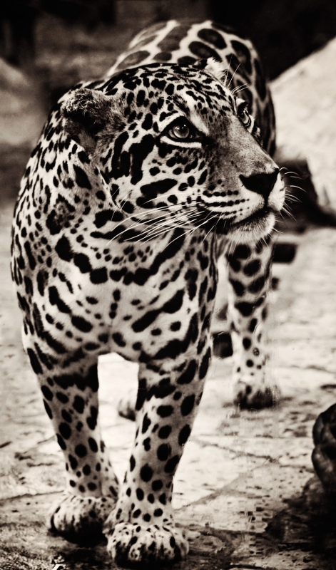 Lady Jaguar