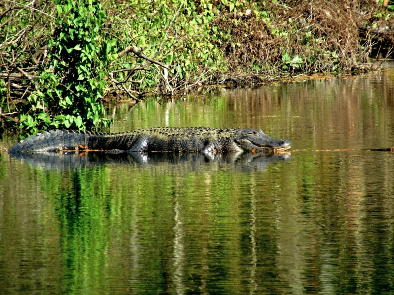 Large Alligator On A Log