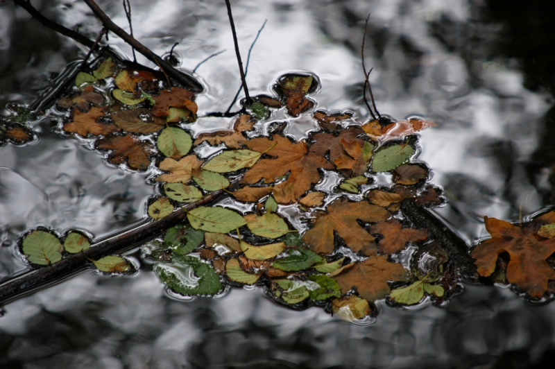 Leaves On Redwood Creek