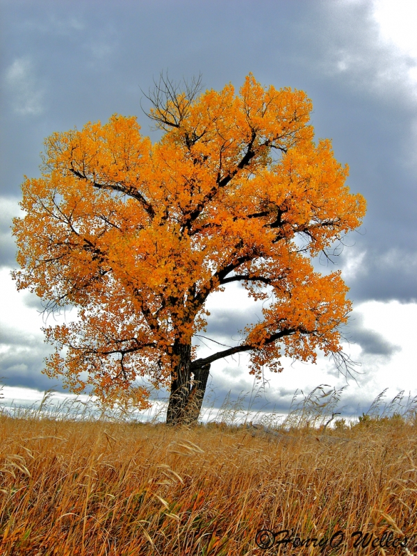 Lone Fall Cottonwood