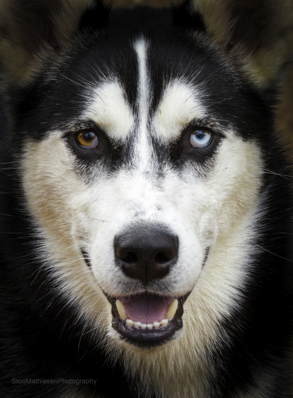 Malachi, Husky With Different Coloured Eyes