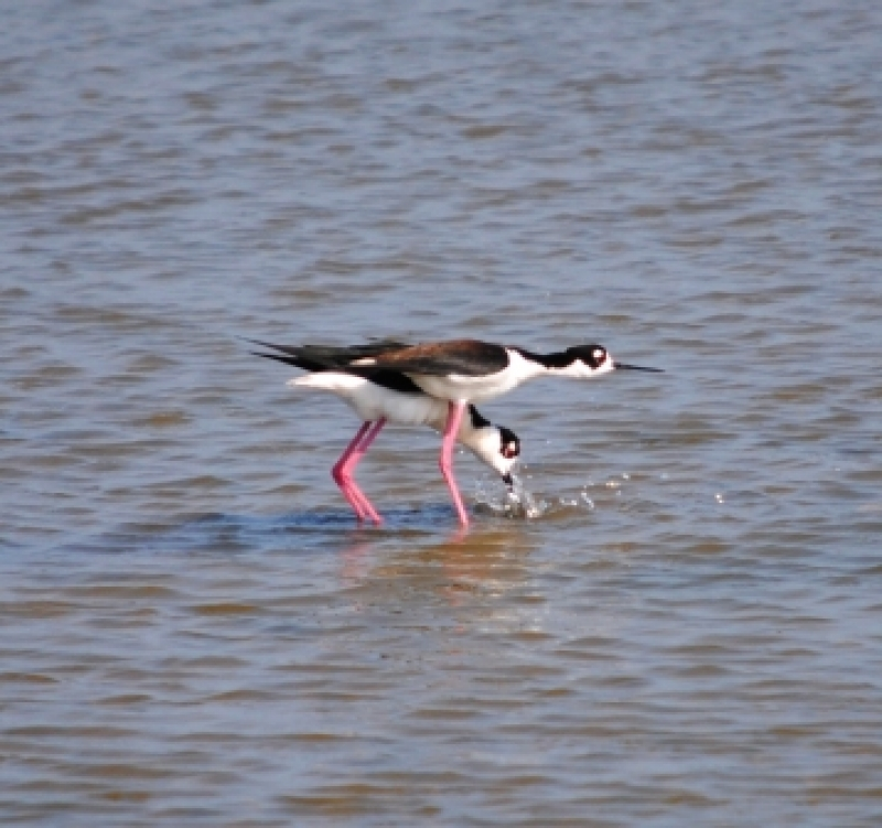 Mating Dance Of The Blacknecked Stilts