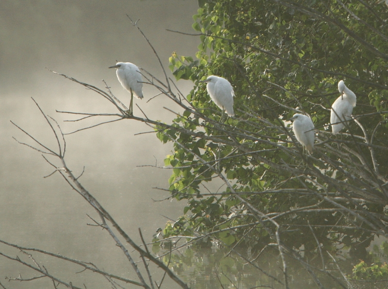 Misty Morning Herons
