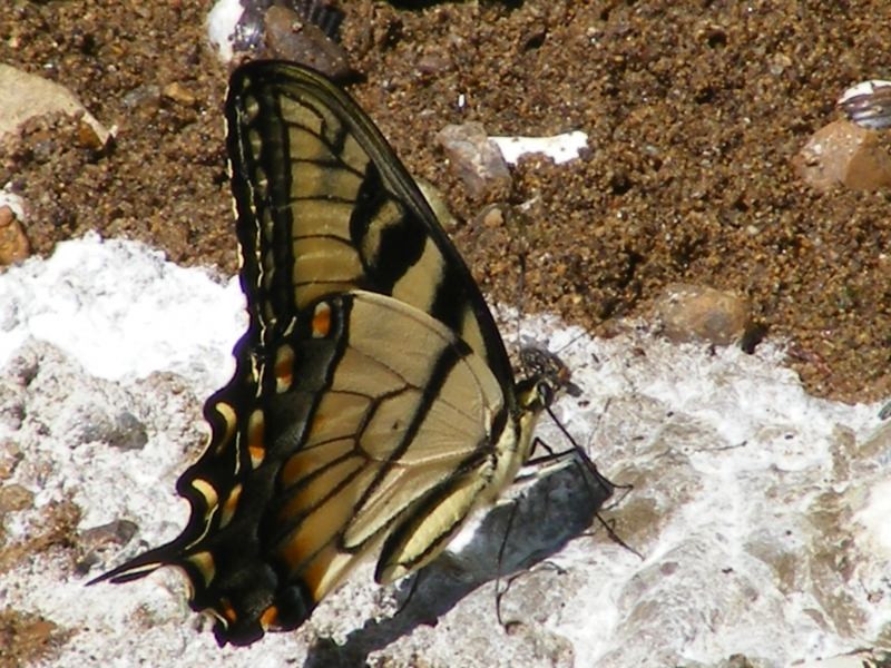 Monarch Butterfly On The Shore