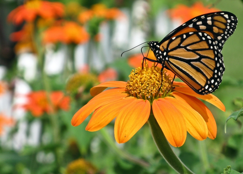 Monarch On Tithonia Flower