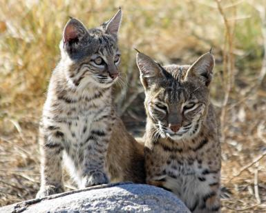 Mother Bobcat And Offspring