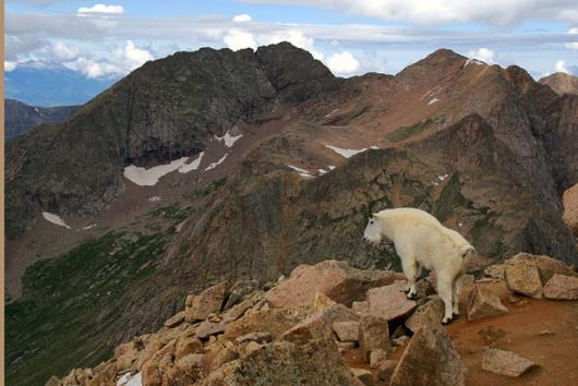 Mountain Goat And Mount Eolus, 14,083′