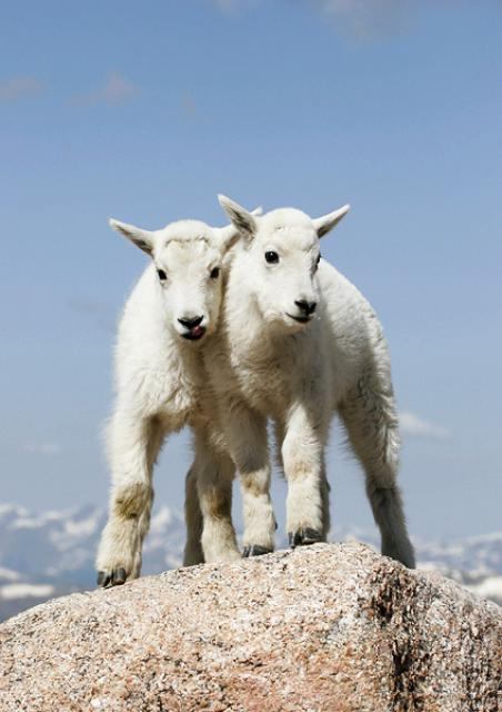 Mountain Goat Youngsters