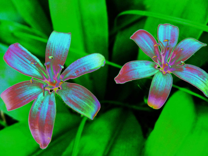 Mountain Lilies Solarized