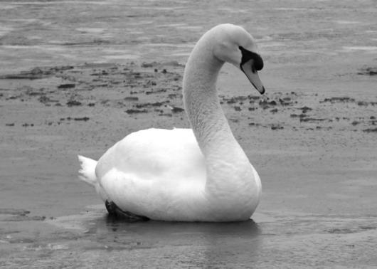 Mute Swan On Frozen Pond